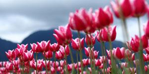 Tulipány a cibuloviny
