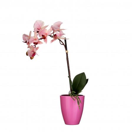 UK Orchidej růžová v květináči