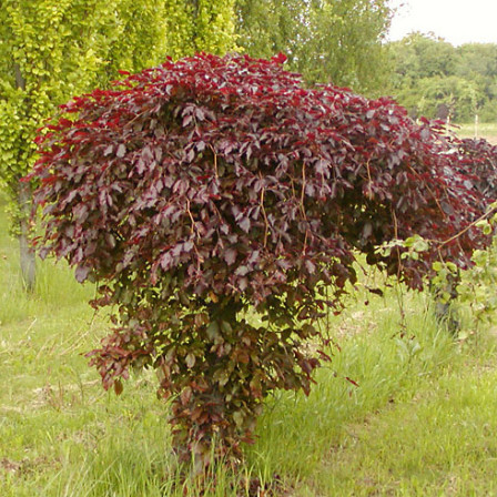 Buk lesní 'Purpurea Pendula'
