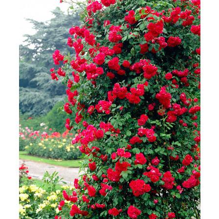Růže pnoucí  'Paul's Scarlet Climber'