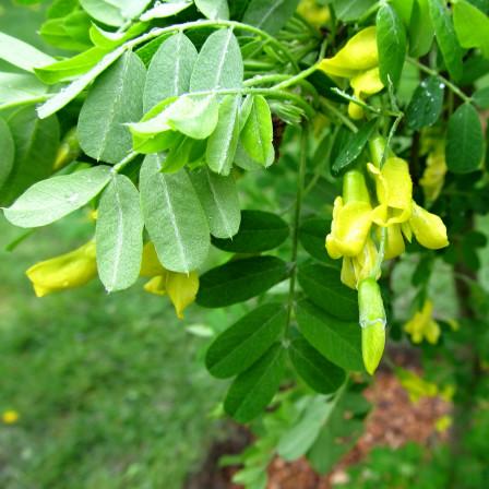 Čimišník stromovitý 'Pendula' km120