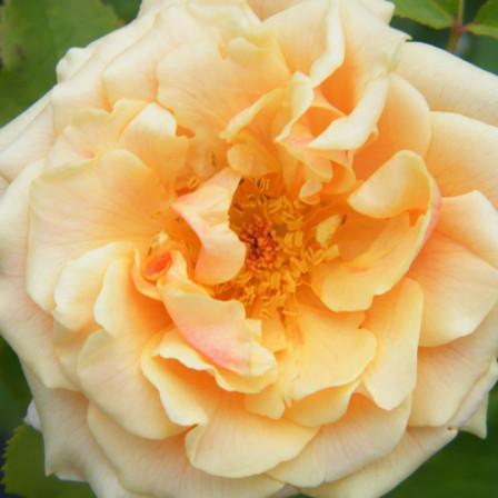 Rosa KORDES 'Caramella' žlutooranžová C5 20-30