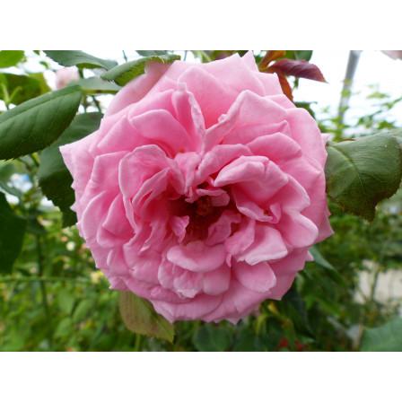 Rosa pnoucí 'Coral Down' K4 60-80
