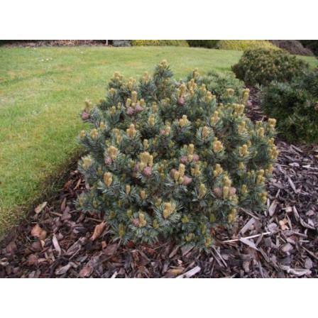 Borovice parviflora 'Regenhold' TM