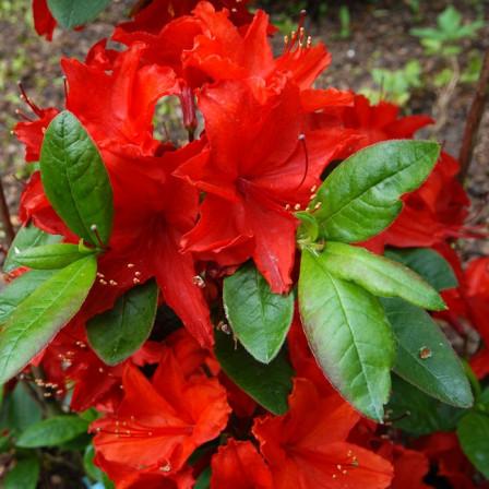 Azalka velkokvětá, opadavá 'Nabucco' červená