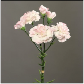 UK Karafiáty růžové