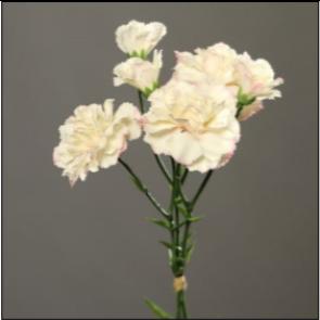 UK Karafiáty krémově růžové
