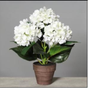 UK Hortenzie v květináči