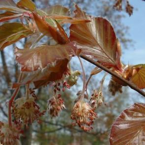Buk lesní 'Atropunicea'