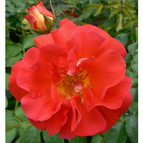 Růže - KORDES 'Gebrüder Grimm' oranžová C3 20-30