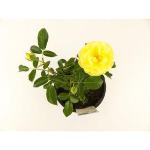 Rosa KORDES ´Solero´ k1,5l 15-20
