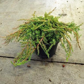 Jalovec obecný 'Green Carpet'