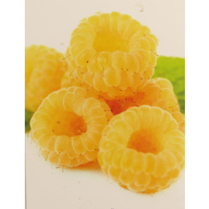 Maliník žlutý 'Fallgold'