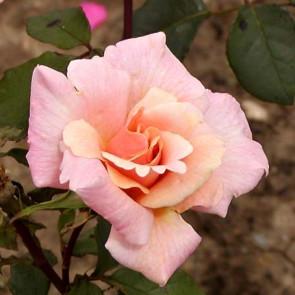 Růže 'Michéle Meilland', růžová