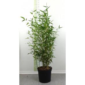 Bambus bisetův