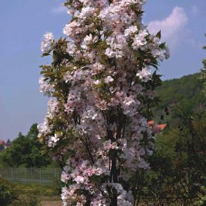 Sakura ozdobná, třešeň pilovitá 'Amanogawa' km80 TČ