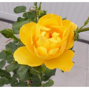 Růže stromková 'Arthur Bell' - žlutá km90