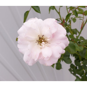 Růže stromková 'Bonica'- růžová km90