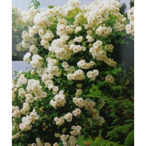 Růže pnoucí - bílá