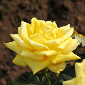 Růže  'Landora', žlutá