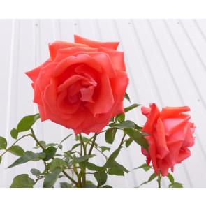 Růže stromková 'Ramona'- růžovočervená  km90