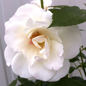 Růže 'Schneewittchen', bílá