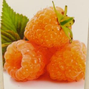 Maliník oranžový 'Apricot'