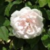 Růže  'Mme Alfred Carriére' bílá