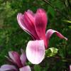 Magnolie - šácholan liliokvětý 'Nigra'