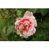 Růže  'Albertine' světle růžová