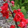 Kdoulovec nádherný 'Red Joy' červený
