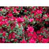 Azalka japonská ''Hino-Crimson'' tmavě růžová