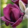 Magnolie 'Genie', Šácholan