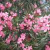 Oleandr obecný 'Rosa Semplice'