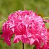 Azalka velkokvětá, opadavá 'Homebush' růžová