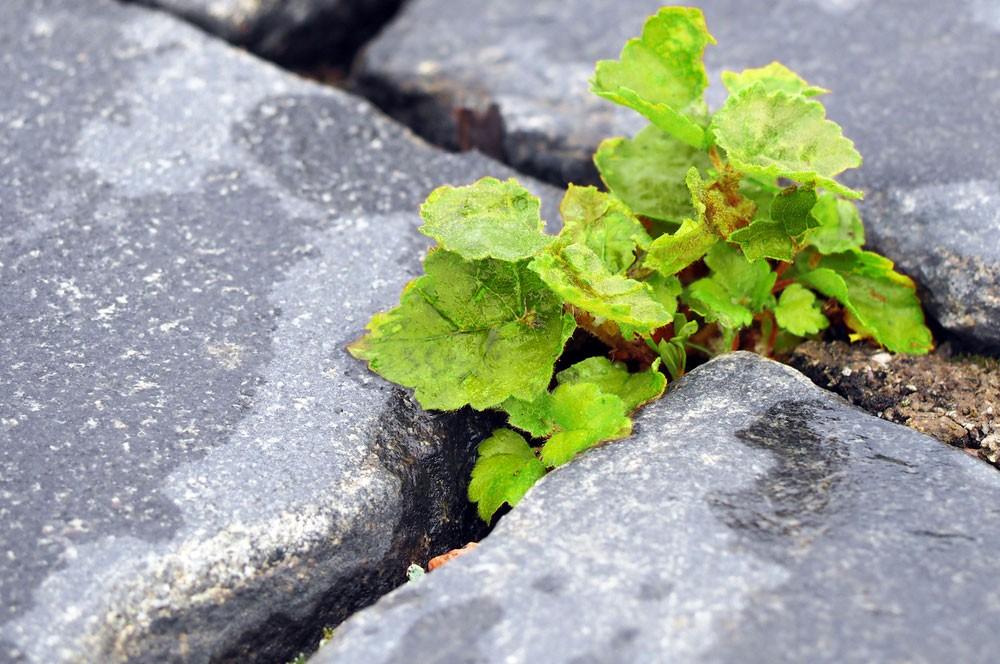 Roundup k likvidaci plevele v dlažbě chodníků a cest